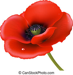 Red Poppy, Isolated On White Background, Vector Illustration