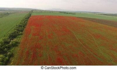 Red Poppy Meadow Among Farm Fields