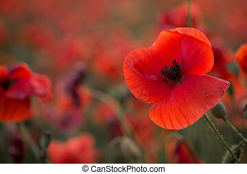 red poppy on a background field of poppies