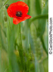 Red poppy on a field of wheat