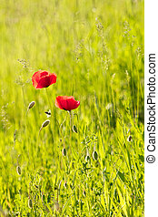 Red Poppy on a meadow