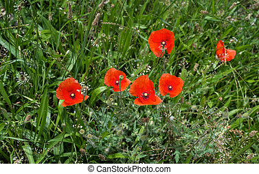 Red poppy on green background