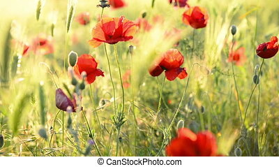 Red poppy on the green field with wheat. Moving...
