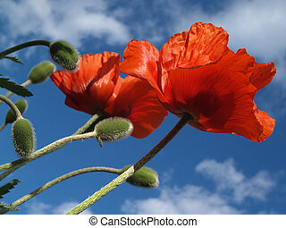 Red Poppy Pair to the Sky in Spring - Two Papaver rhoeas...