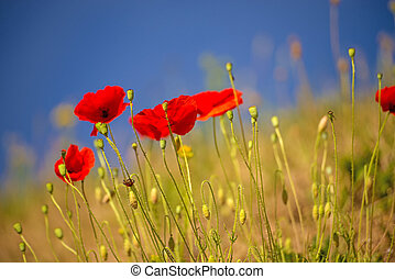 red poppy