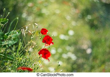 Red poppy, symbol of Albania, in Historic city of Berat in Albania