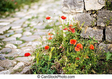 Red poppy, symbol of Albania, in Historic city of Berat in Albania