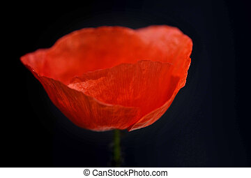 red poppy with flower and blurred empty background