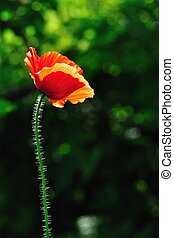 Red poppy with green background