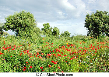 Red poppys in olive grove