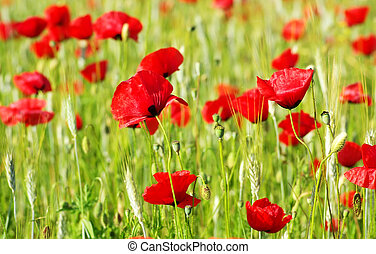 red Poppys