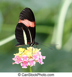 Red Postman butterfly Heliconius erato cyrbia - Red Postman ...