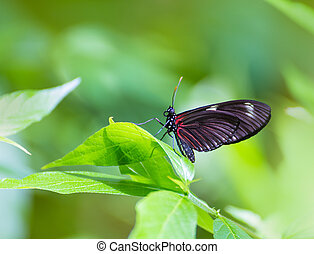 Red Postman butterfly Heliconius Erato Notabilis in green ...