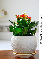 Red pot flower Kalanchoe in the interior of the room