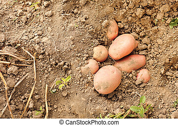 Red potatoes in soil - Red potatoes crop in soil