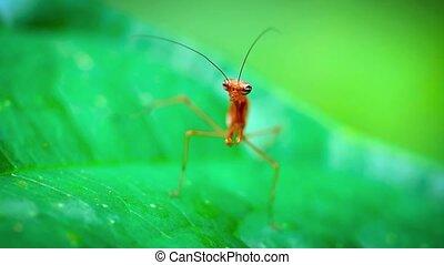 Red Praying Mantis Waiting in Ambush. Video 1920x1080 -...