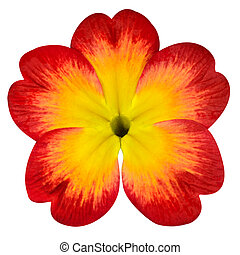 Red Primrose Flower with Yellow Center Isolated on White Background. Macro Closeup