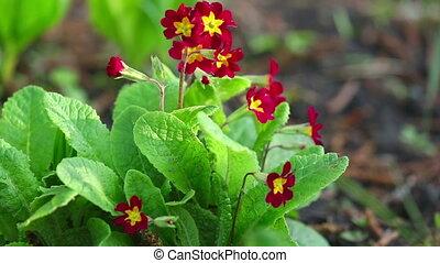 Primrose flower - Red Primrose flowers swaying in the spring...