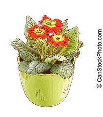 Red primrose in a flowerpot