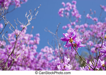Red purple azalea blossom in flower blurs