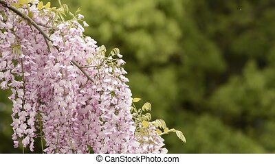 Red purple wisteria flowers in front of green forest