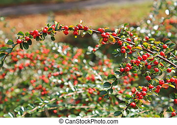 Red pyracantha berries on a bush