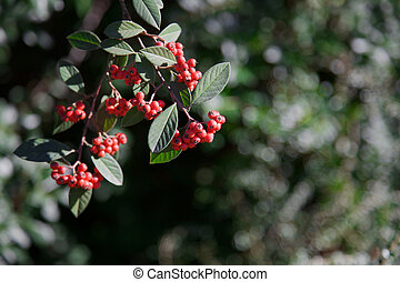 Red Pyracantha berries