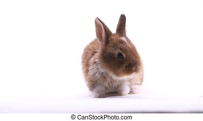 red rabbit isolated on white background, animals and...