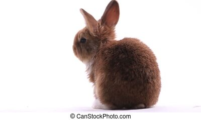 red rabbit with white paws isolated on white background,...