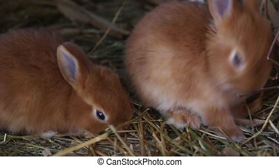 red rabbits - little red rabbits eating at the cage