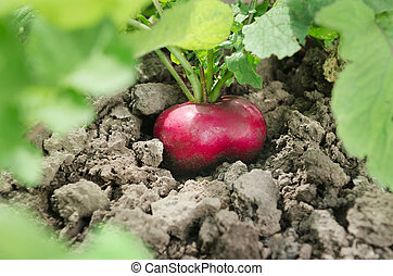 Red radish groing in the soil