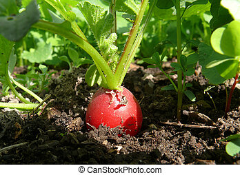 Radish in organic farming - red Radish in organic farming