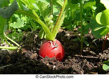 Radish in organic farming - red Radish in organic farming