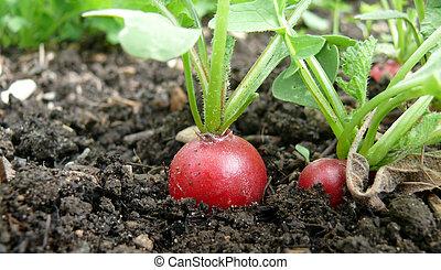 red Radish in organic farming