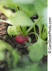 Red radish in the ground