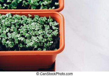 Red radish microgreens
