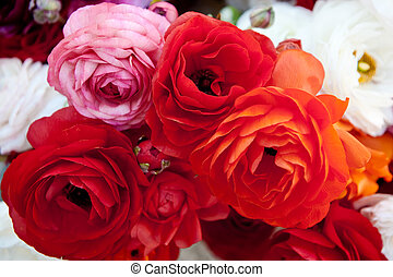 Red Ranunculus - A bunch of brightly colored Tecolote ...