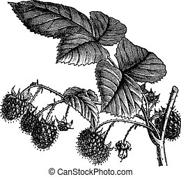 Red Raspberry or Rubus idaeus or European Raspberry or Framboise or Raspberry, vintage engraving. Old engraved illustration of Red Raspberry isolated on a white background.