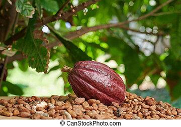Red ready cacao pod