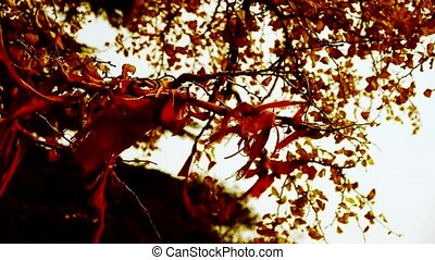 Red ribbon wrapped around branches,lush ginkgo tree in...