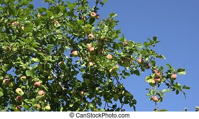 Red ripe apple and leaves on fruit tree twigs on blue sky background. 4K