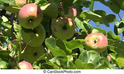 Red ripe apple and leaves on fruit tree twigs on blue sky background. Zoom out.