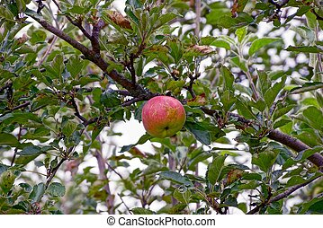 Red ripe apple on a branch among leaves in the garden