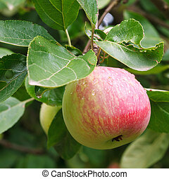 red ripe apple on green sprig close up in orchard