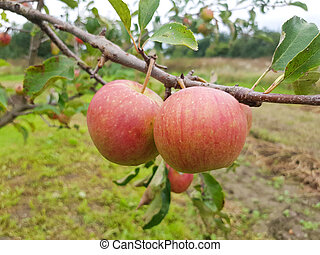 Red ripe apples hang on a branch in the garden