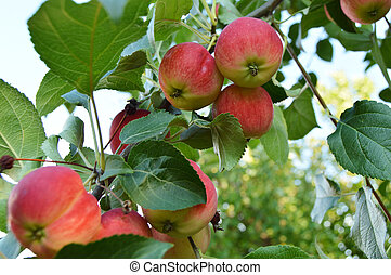 Red ripe apples hanging on a branch of Apple trees against the sky in the garden