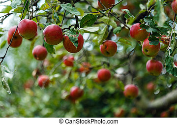 Red ripe apples in the tree