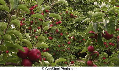Red ripe apples on a farm