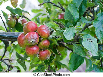 Red ripe apples on tree