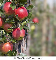 red ripe apples on tree in dutch orchard in holland